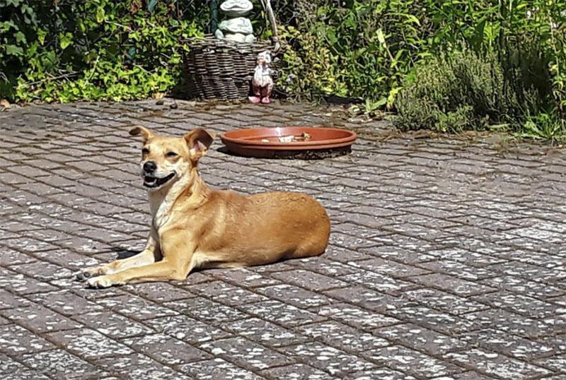 Hund-Rica